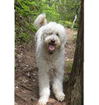 Goldendoodle Tongue Hanging Out Image
