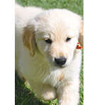 Goldendoodle Puppy Image